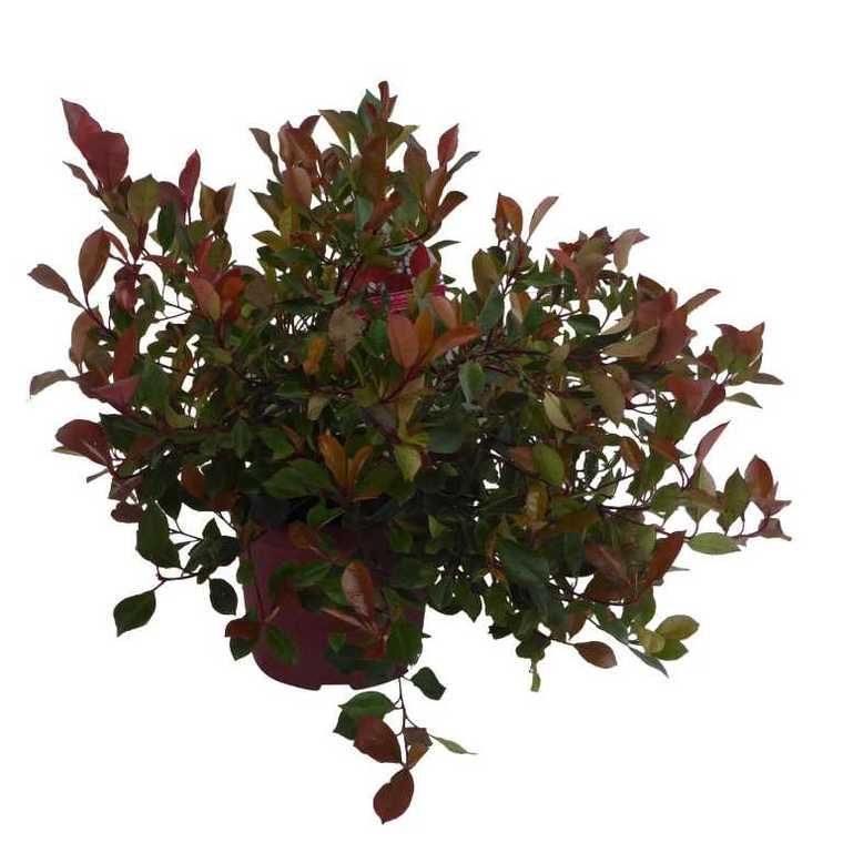 Photinia Fraseri Little Red Robin rouge en pot de 2 L 218938