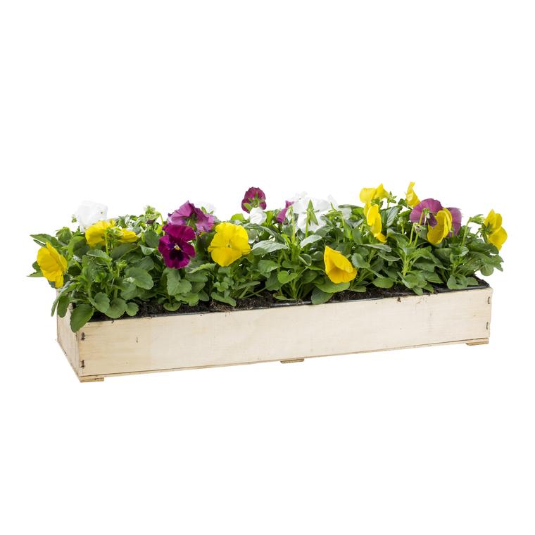 Pensée à grandes fleurs. La cagette de 14 plants 221417