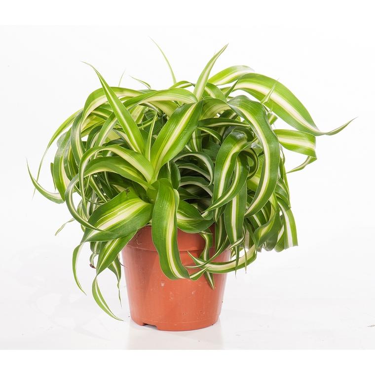 Chlorophytum bonnie 221875
