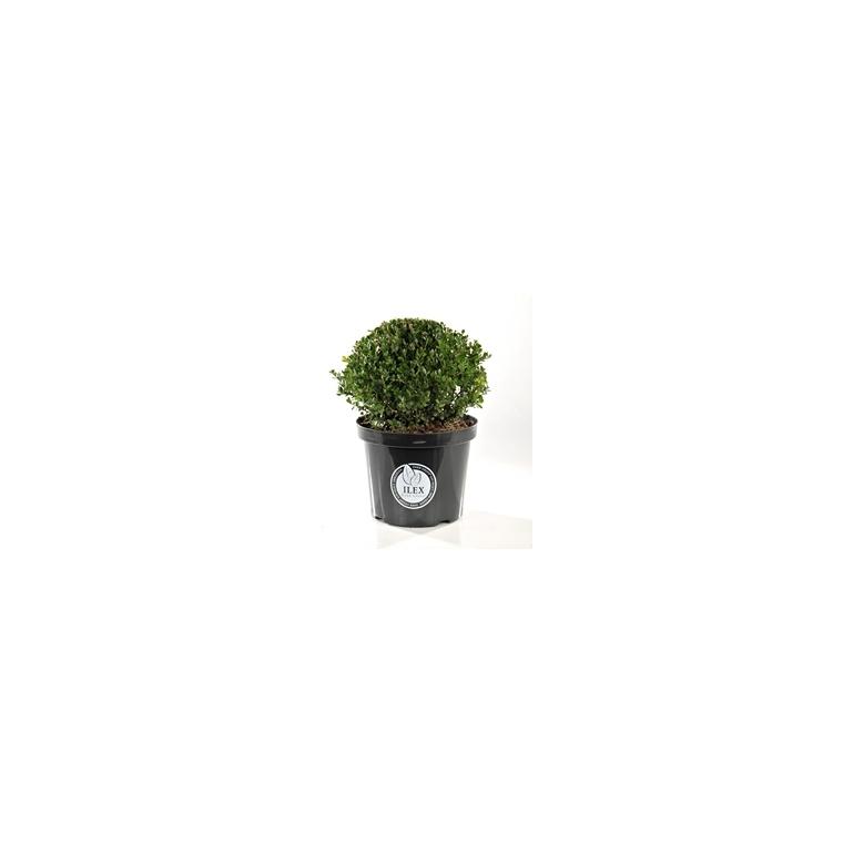 Ilex Crenata Dark Green 60/80 cm en pot de 10 L 221950