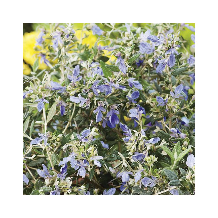 Germandrée arbustive bleue - Pot de 3L 222249