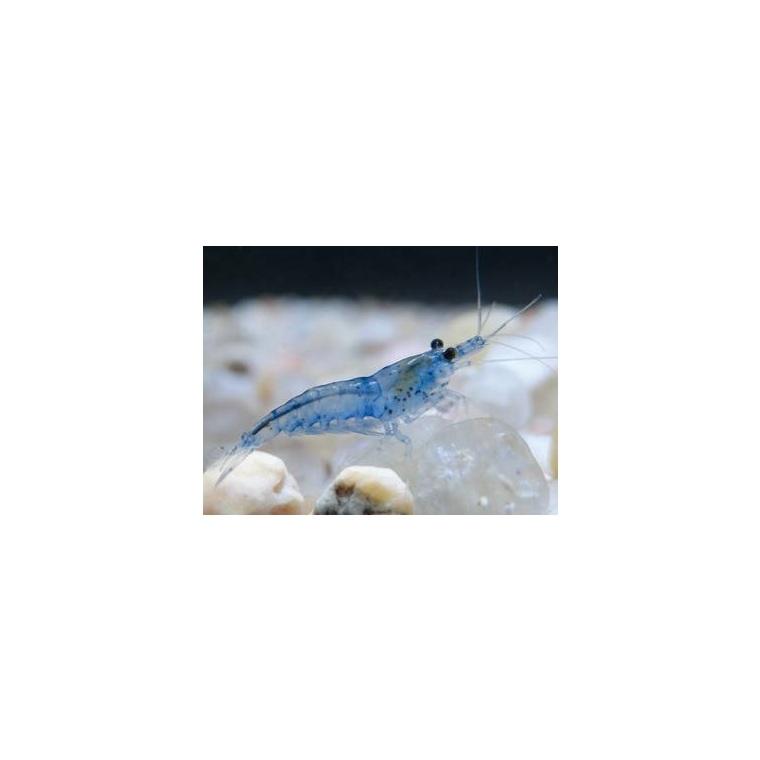 Neocaridina blue jelly 222656
