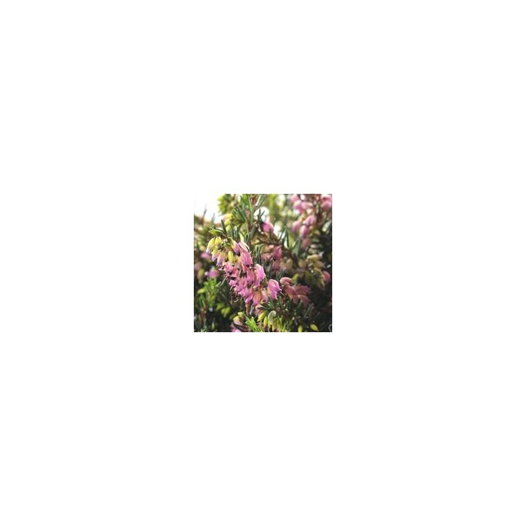 Erica Darleyensis Coupe. La coupe de 25 cm 224026
