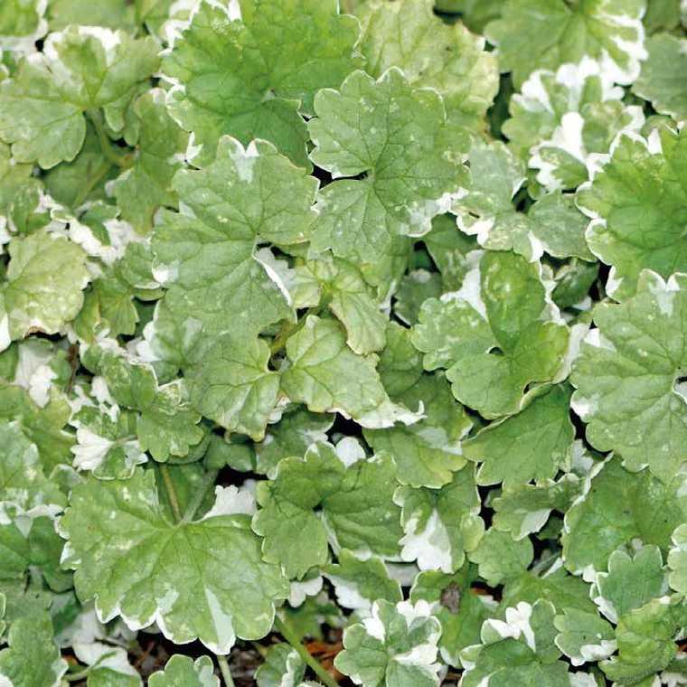 Glechoma Hederaefolia. Le pot de 9 x 9 cm 231537