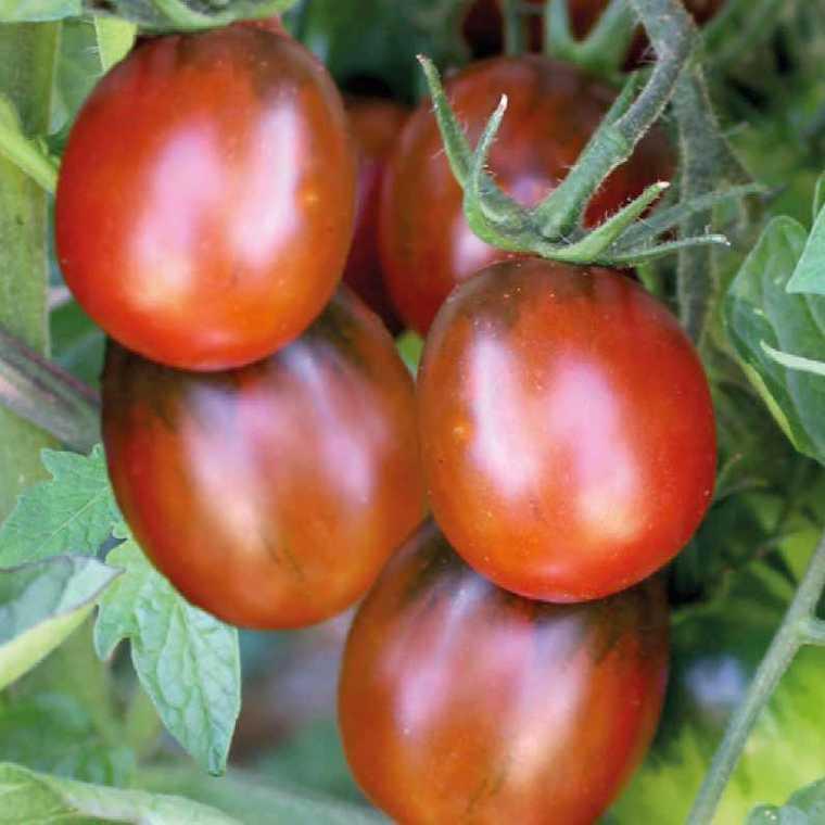 Tomate Cocktail en grappe Prune Noire bio. Le pot compostable de 10.5 cm 245204