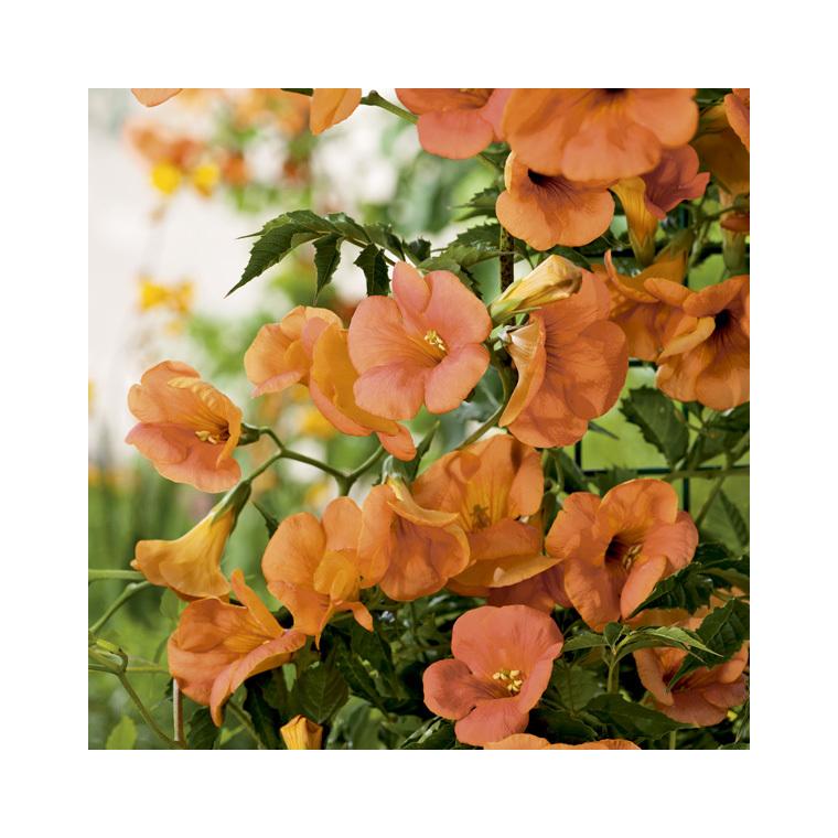 Bignone à grande fleur (CAMPSIS GRANDIFLORA) Le pot de 3 litres 250513