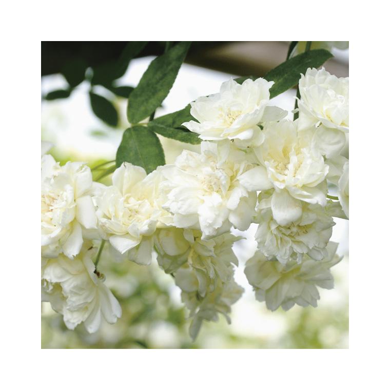 Rosier liane de Banks blanc (ROSIER BANKSIAE ALBA PLENA) Le pot de 3 litres 250527