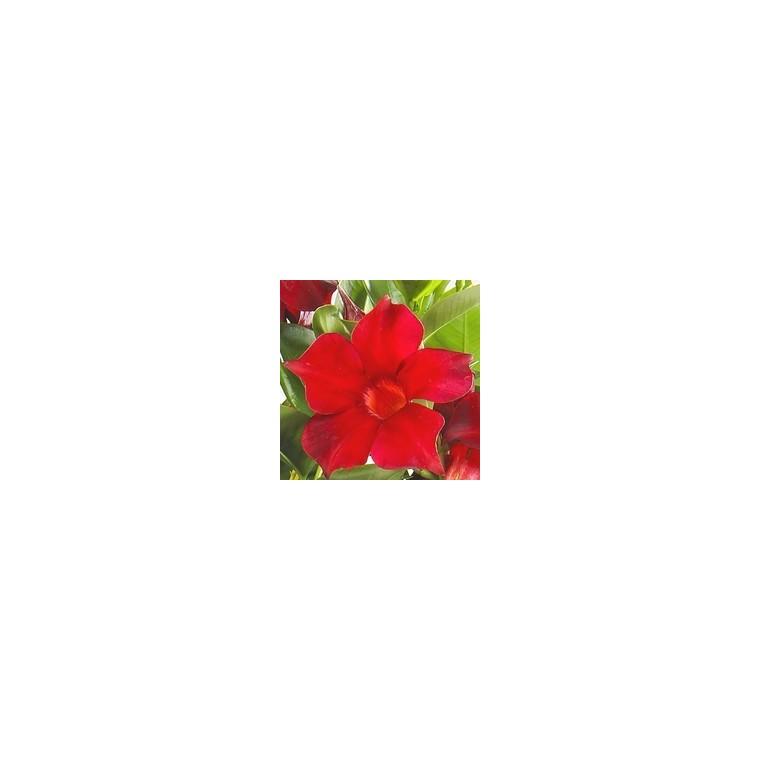 Dipladénia Jade Scarlet. Le pot de 9x9 cm 255586