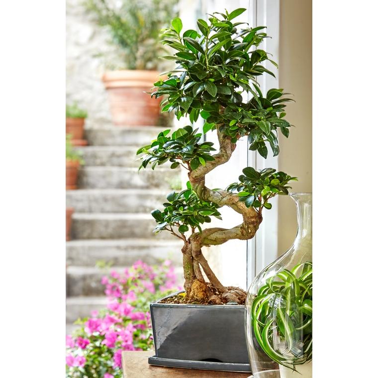 Ficus Ginseng avec cache pot 256330