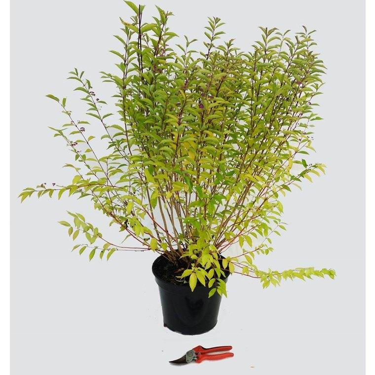 Arbuste aux bonbons Issai (CALLICARPA DICHOTOMA ISSAI), en pot de 3 litres. 257742