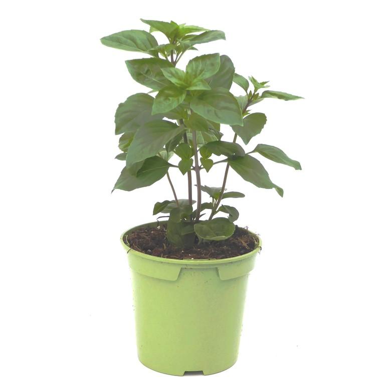 Basilic Thaï. Le pot de 1 litre recyclé 265662