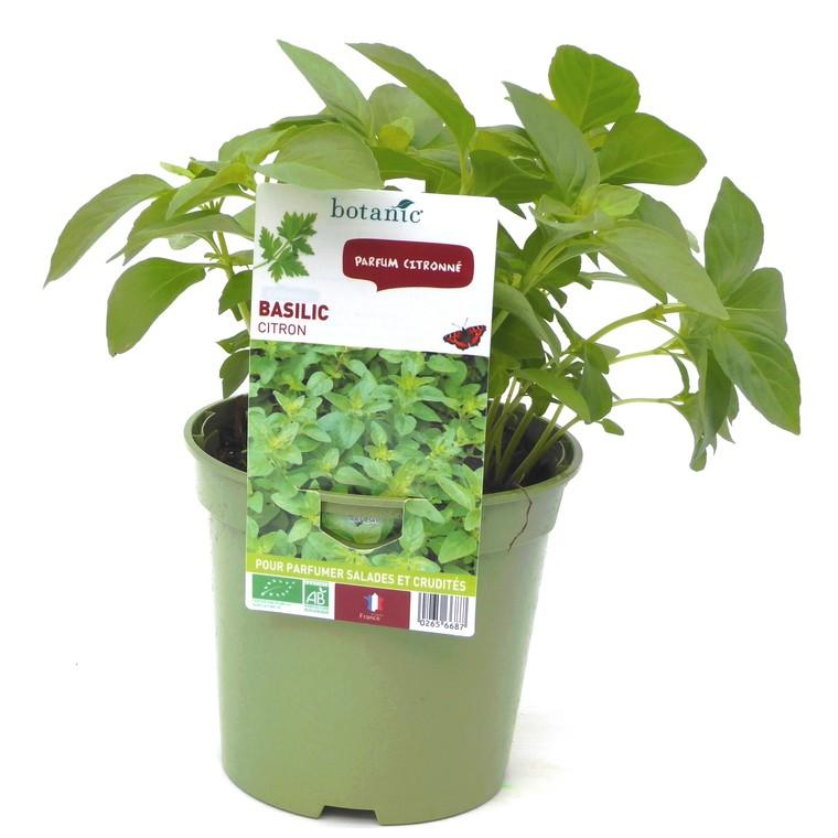 Basilic Citron bio. Le pot de 1 litre recyclé 265668
