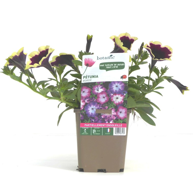 Pétunia à fleurs bordées. Le pot de 9 x 9 cm 265671