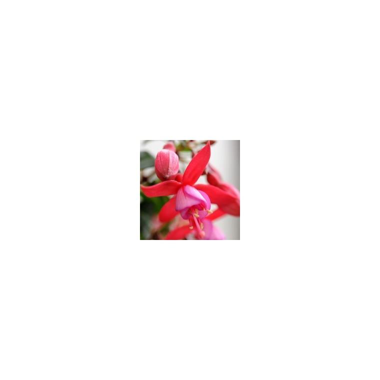 Fuchsia Alice Hoffman. Le pot de 9x9 cm 207534