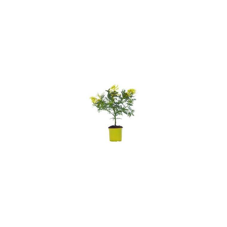 Mimosa (ACACIA DEALBATA) Le pot de 5 litres 275810