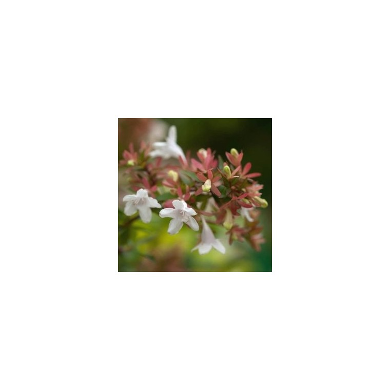 Abélia Grandiflora rose en pot 276910