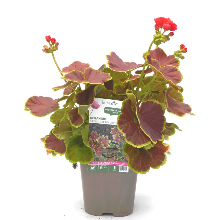 Géranium à feuillage décoratif. Le pot de 12 x 12 cm 277718