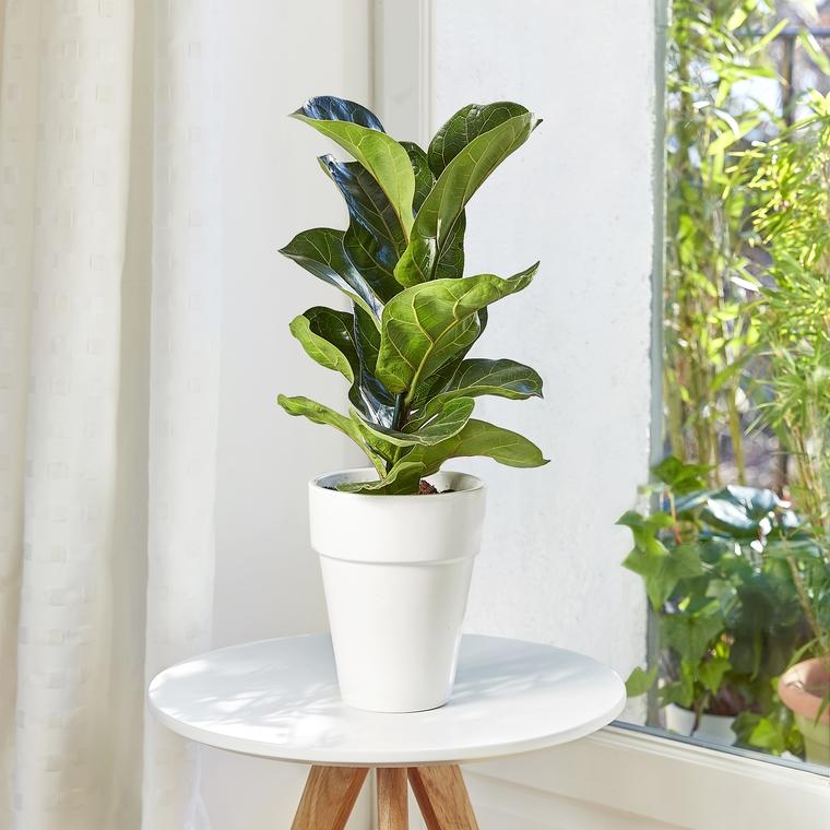 Ficus lyrata bambino. Le pot de 15 cm 282854