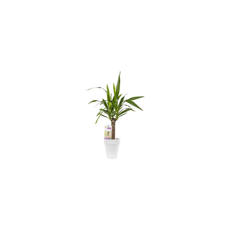 Yucca. Le pot de 18 cm 282868