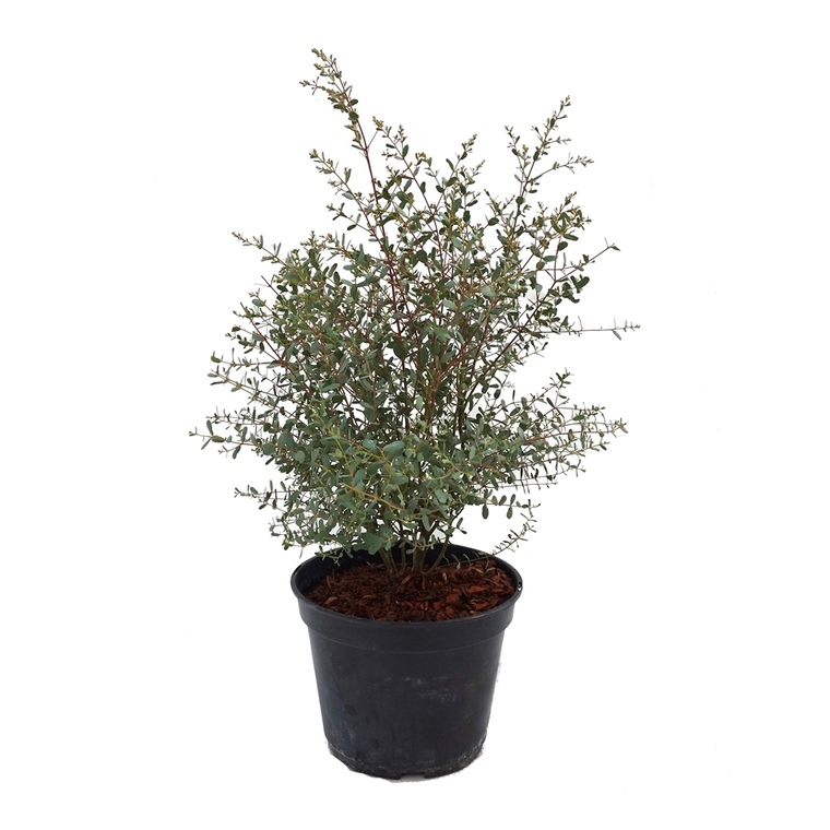 Eucalyptus Gunnii France Bleu Rengu 50/60 cm en pot de 5 L 283021