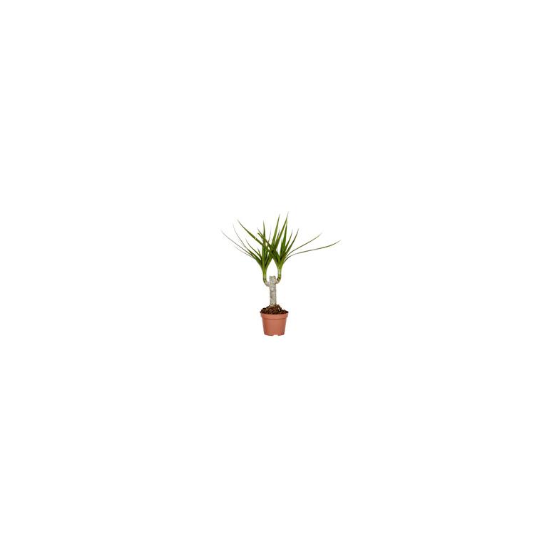 Dracaena Marginata Tronc Plante Baby en pot Ø 5/6 cm 288460