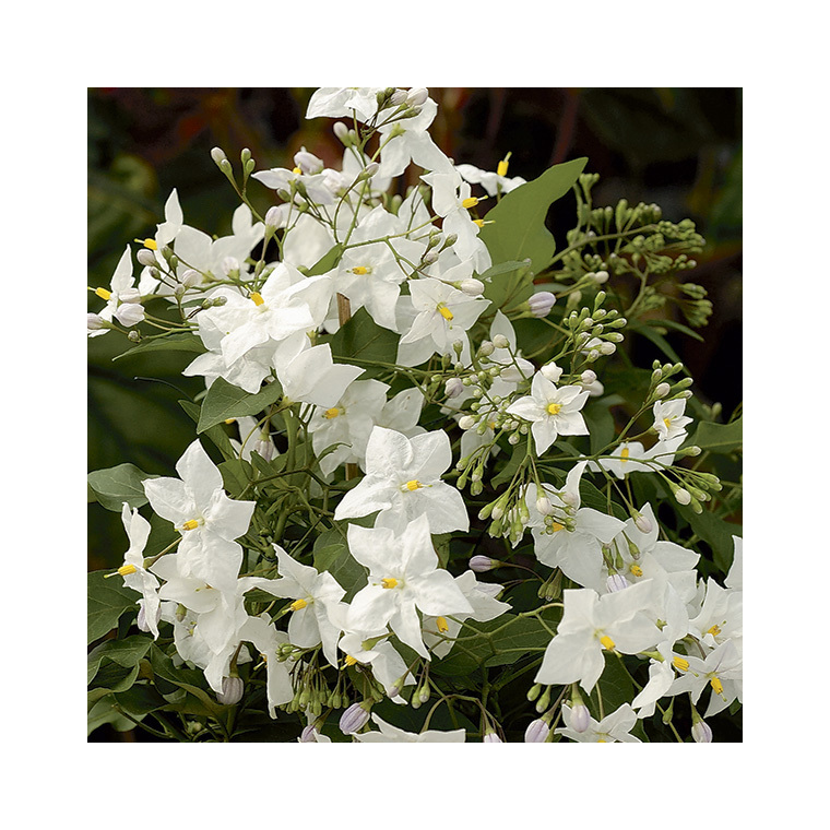 Solanum faux-jasmin blanc (SOLANUM JASMINOIDES ALBUM) Le pot de 3 litres 100% recyclé 292664