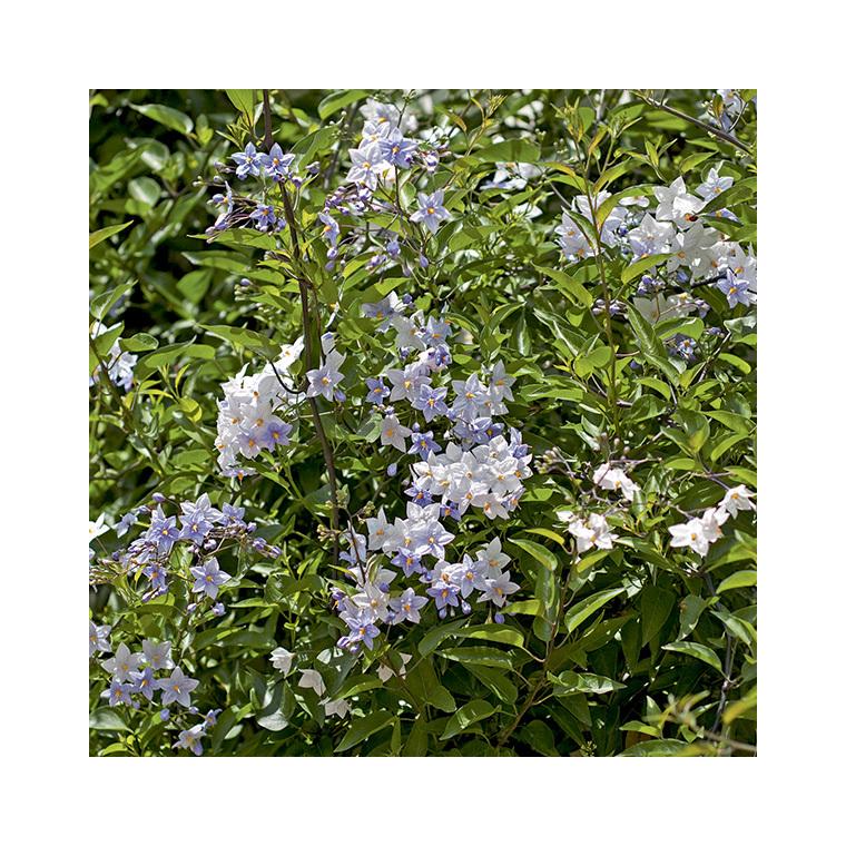 Solanum faux-jasmin (SOLANUM JASMINOIDES) Le pot de 3 litres 100% recyclé 295624
