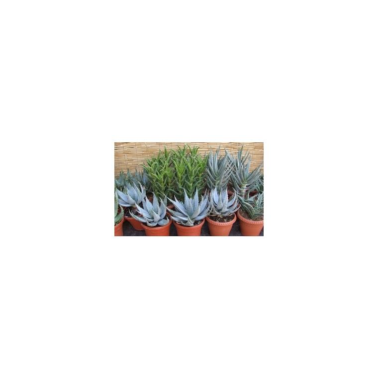 Plante grasse botanic for Plantes grasse exterieur