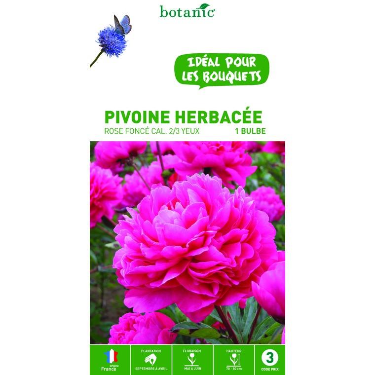 Pivoine herbacée rose foncé – 1 bulbe calibre 1