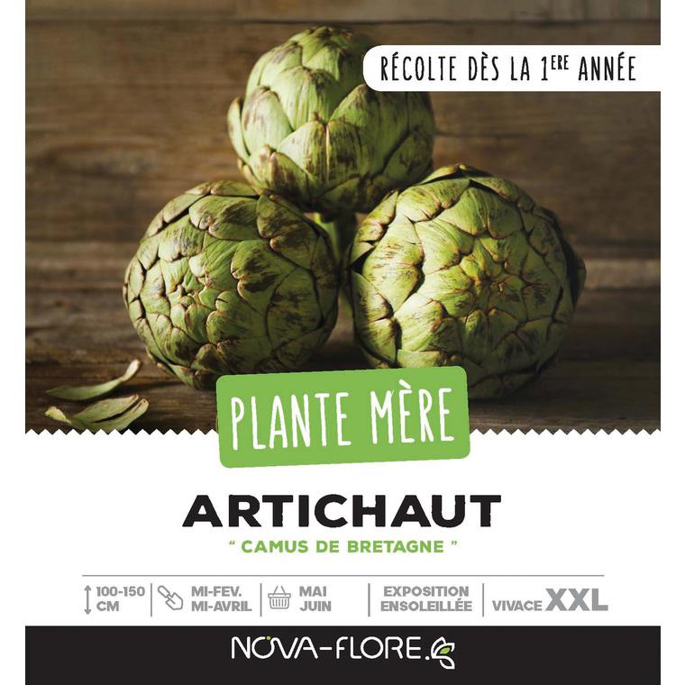 Plante mère d'artichaut de la variété camus de Bretagne