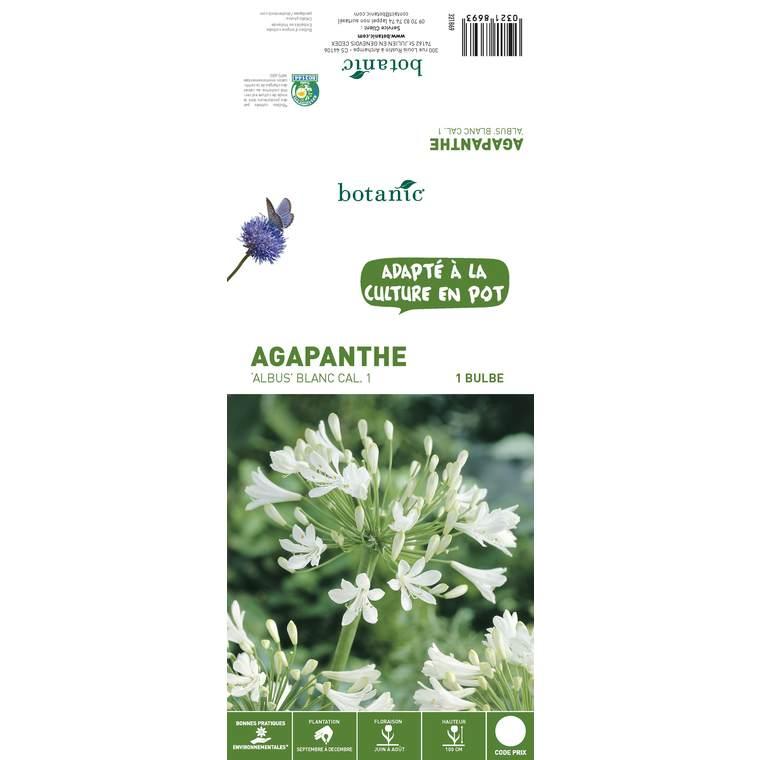 Agapanthe albus bio 1 bulbe de calibre 1 – 3 m