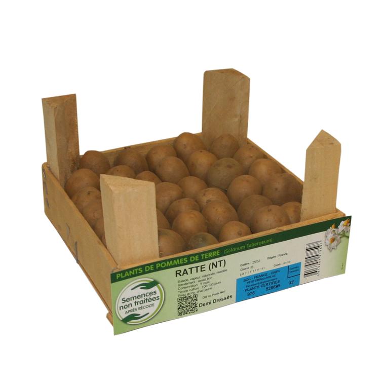 42 plants demi-germés de pommes de terre ratte calibre 25 à 32