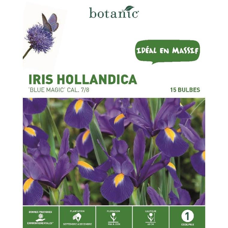 Iris bleu de Hollande 15 bulbes de calibre 7 à 8 – 1 m