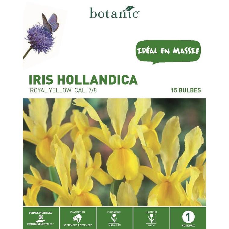 Iris jaune de Hollande 15 bulbes de calibre 7 à 8 – 1 m