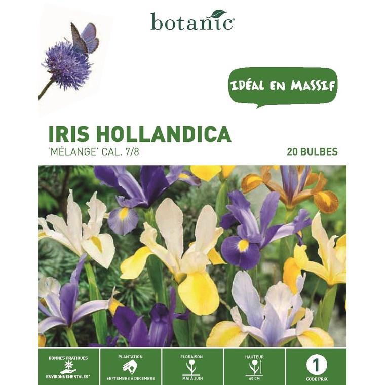 Iris multicolore de Hollande 20 bulbes de calibre 7 à 8 – 1 m