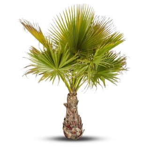 Washingtonia Robusta ou Palmier du Mexique 125/150 cm en pot de 40 L 304713