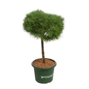 Pinus Mugo Benjamin (Pin nain des montagnes) 1/4 tige en pot de 10 L vert 30890