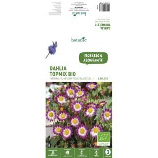 2 bulbes de Dalhia nain Topmix Natural Honeydew BIO - Rose et blanc