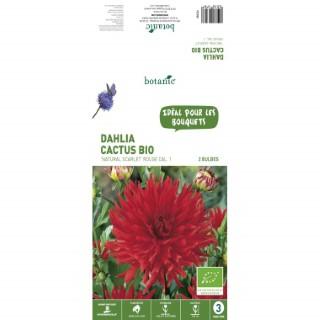 2 bulbes de Dahlia Cactus Natural Scarlet BIO - Rouge
