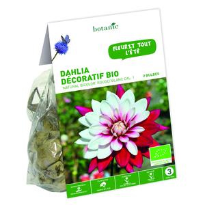 2 bulbes de Dahlia Pompon Natural Bicolore BIO – Rouge et blanc