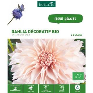 2 bulbes de Dahlia Décoratif Café au Lait BIO – Crème 310191