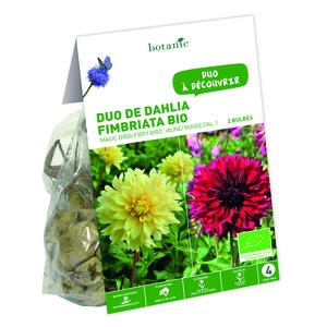 Duo de Dahlia Fimbriata Magic Bird/ Fiery Bird BIO – Jaune ouge