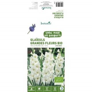 6 bulbes de Glaïeul Grande fleur hybride Ocilla BIO – Blanc