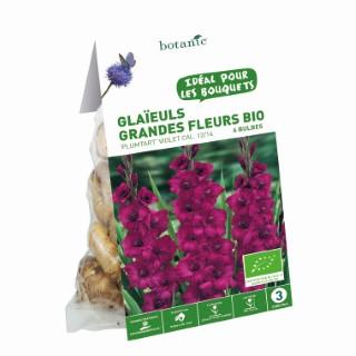 6 bulbes de Glaïeul Grande Fleur Hybride Plumtart BIO - Violet