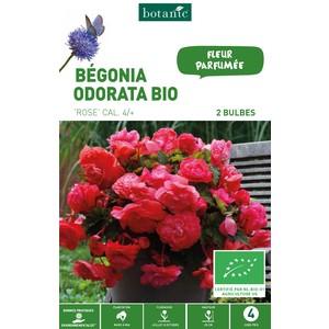 2 bulbes de Bégonia Odorata Rose BIO
