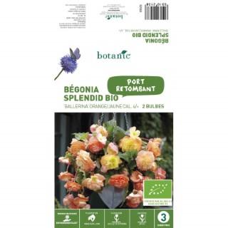 2 bulbes de Bégonia Splendid Ballerina BIO – Orange Jaune 310213