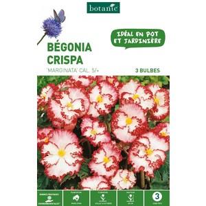 3 bulbes de Bégonia Crispa Marginata - Blanc 310217