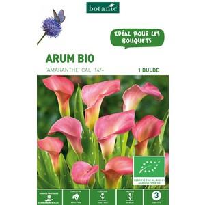 Bulbe d'Arum Amaranthe BIO - Rose
