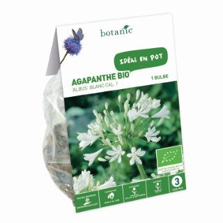 Bulbe d'Agapanthe Albus BIO - Blanc