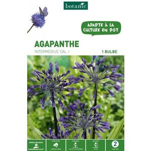 Bulbe d'Agapanthe Intermedius - Violet 310248
